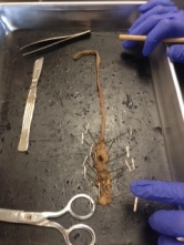 Worm dissection 3